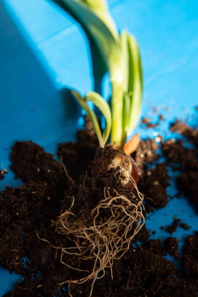 Uprooted tulip bulb