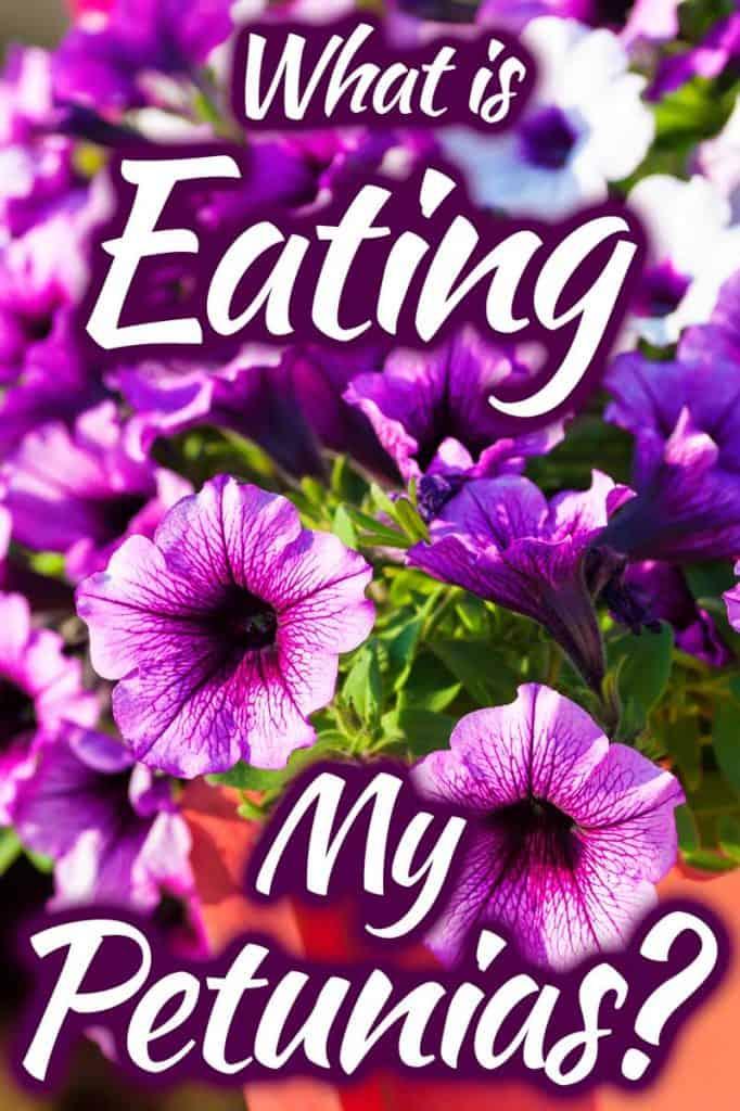 What is Eating My Petunias?