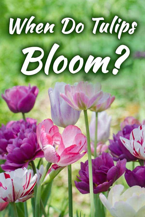 When Do Tulips Bloom?