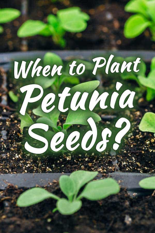 When to Plant Petunia Seeds?