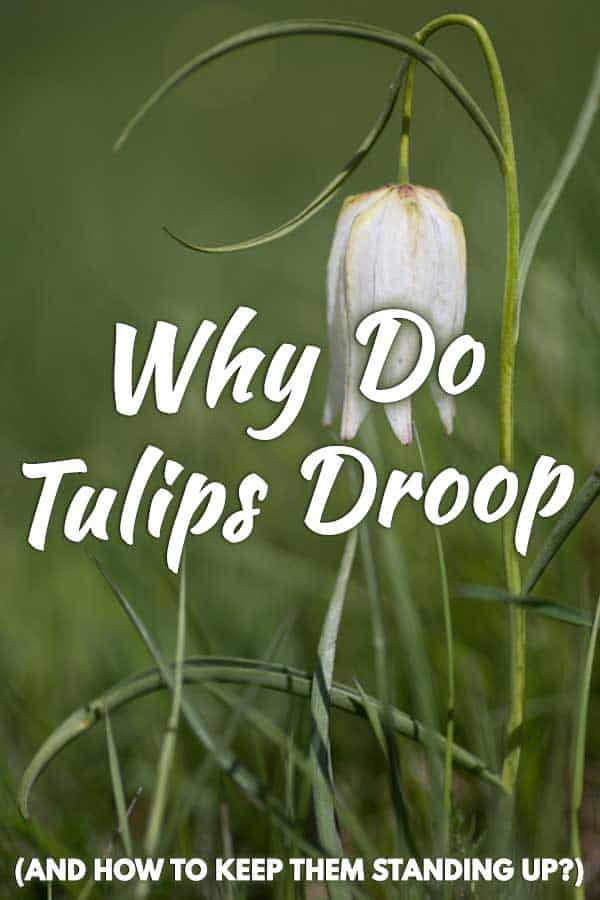 Why Do Tulips Droop (And How to Keep Them Standing Up)?