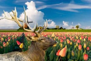 Are Tulips Deer Resistant?