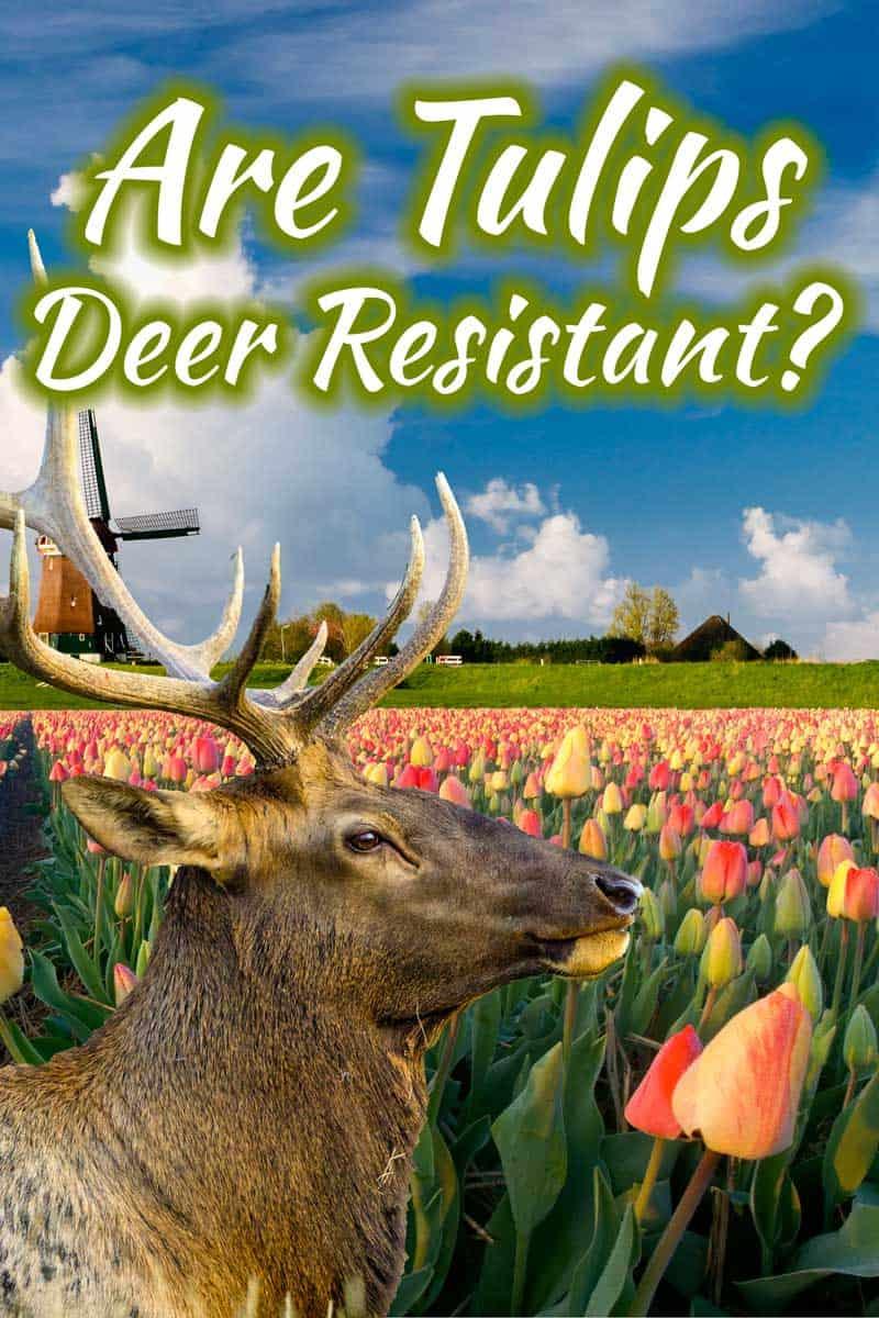 Are Tulips Deer Resistant?
