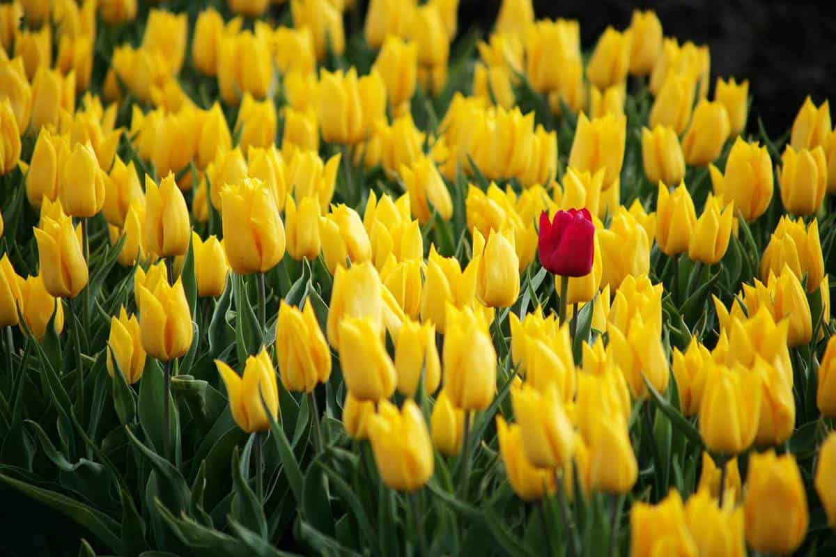 1 red tulip on a field of yellow tulips