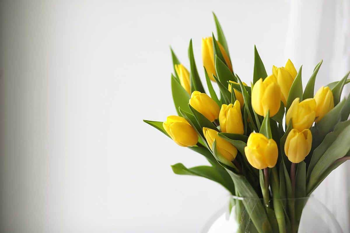 A-bouquet-of-yellow-tulips-in-a-vase