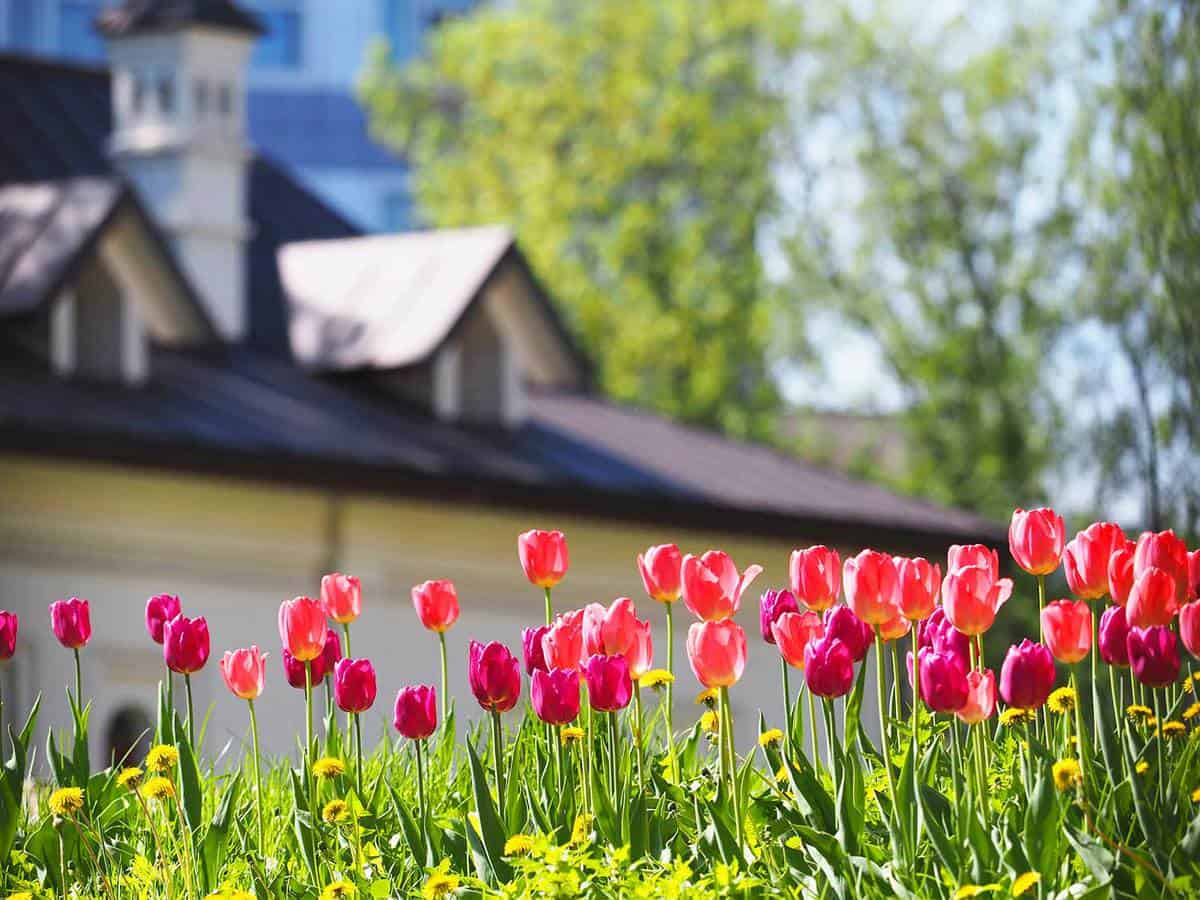 A flower bed with pink and purple tulips in the rays of sunlight against the backdrop of a beautiful white house with a sloping roof