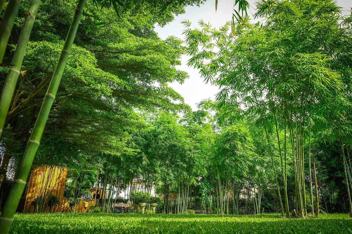 A lot of bamboo tree in the private graden beside a little wooden cottage