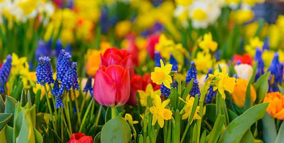 Beautiful colorful flowerbed tulips daffodils hyacinths panorama blurred background