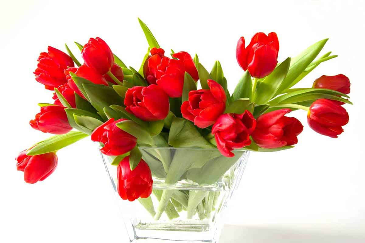 Beautiful-red-tulips-in-vase-of-glass