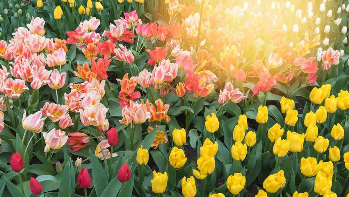 Beautiful tulips in spring season
