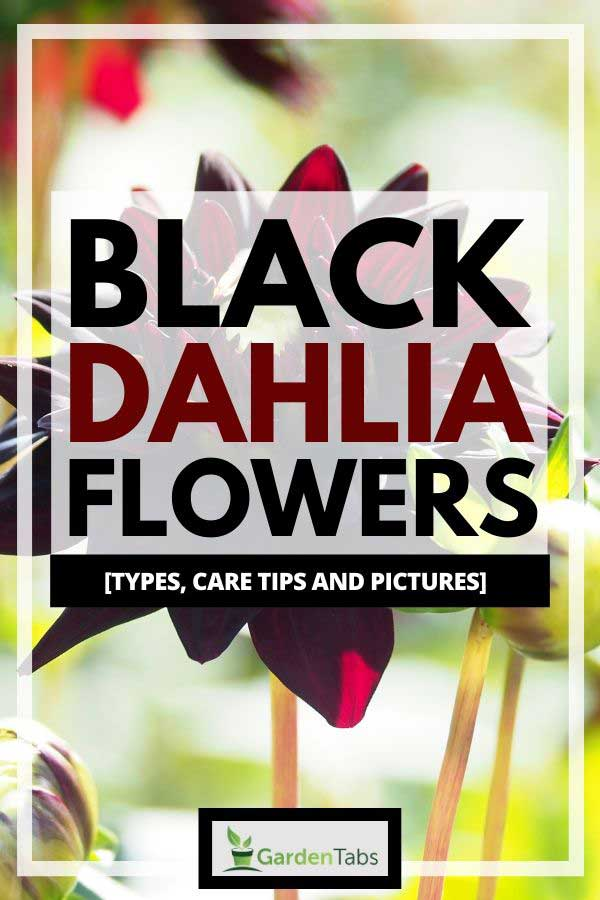 Black Dahlia Flowers [Types, Care Tips and Pictures]