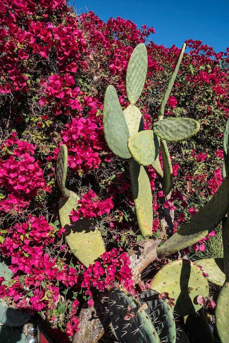Bougainvillea and prickly pear cactus