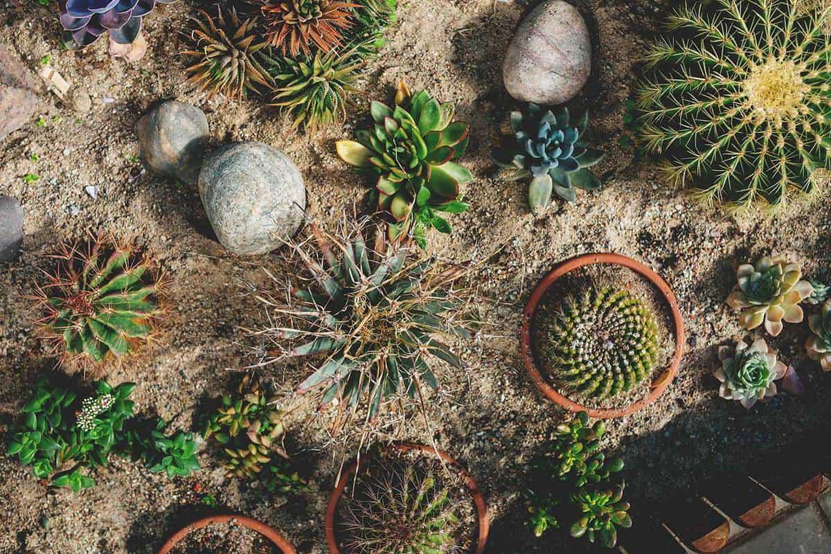 Cactus plants in a pot