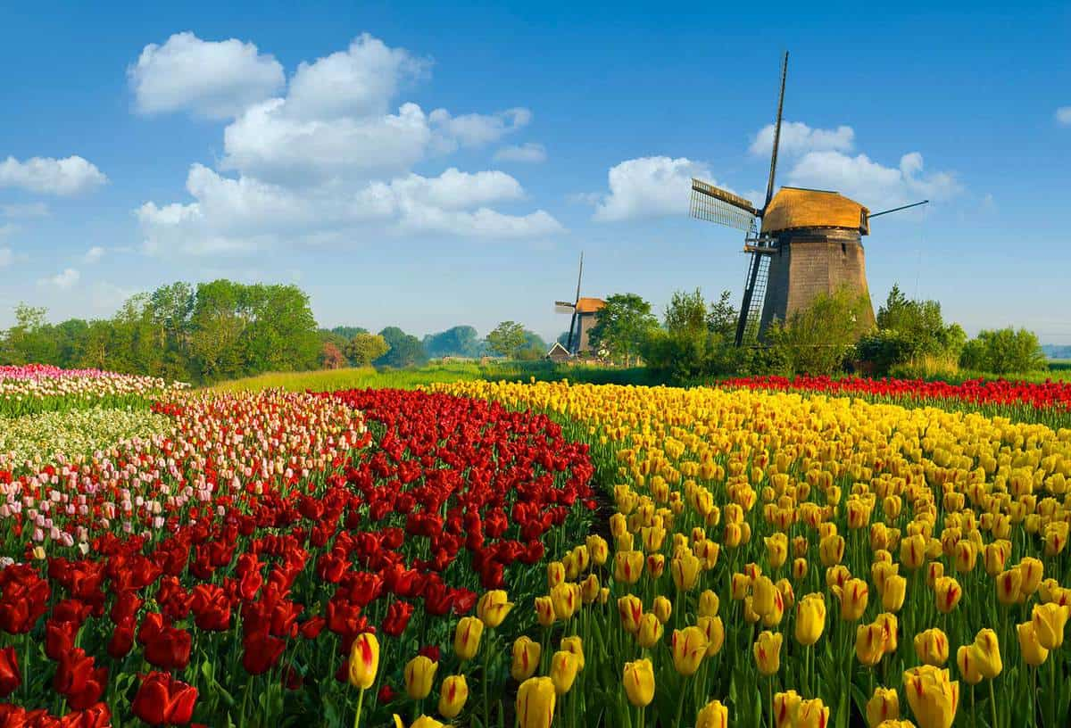 Colorful tulip field and windmill