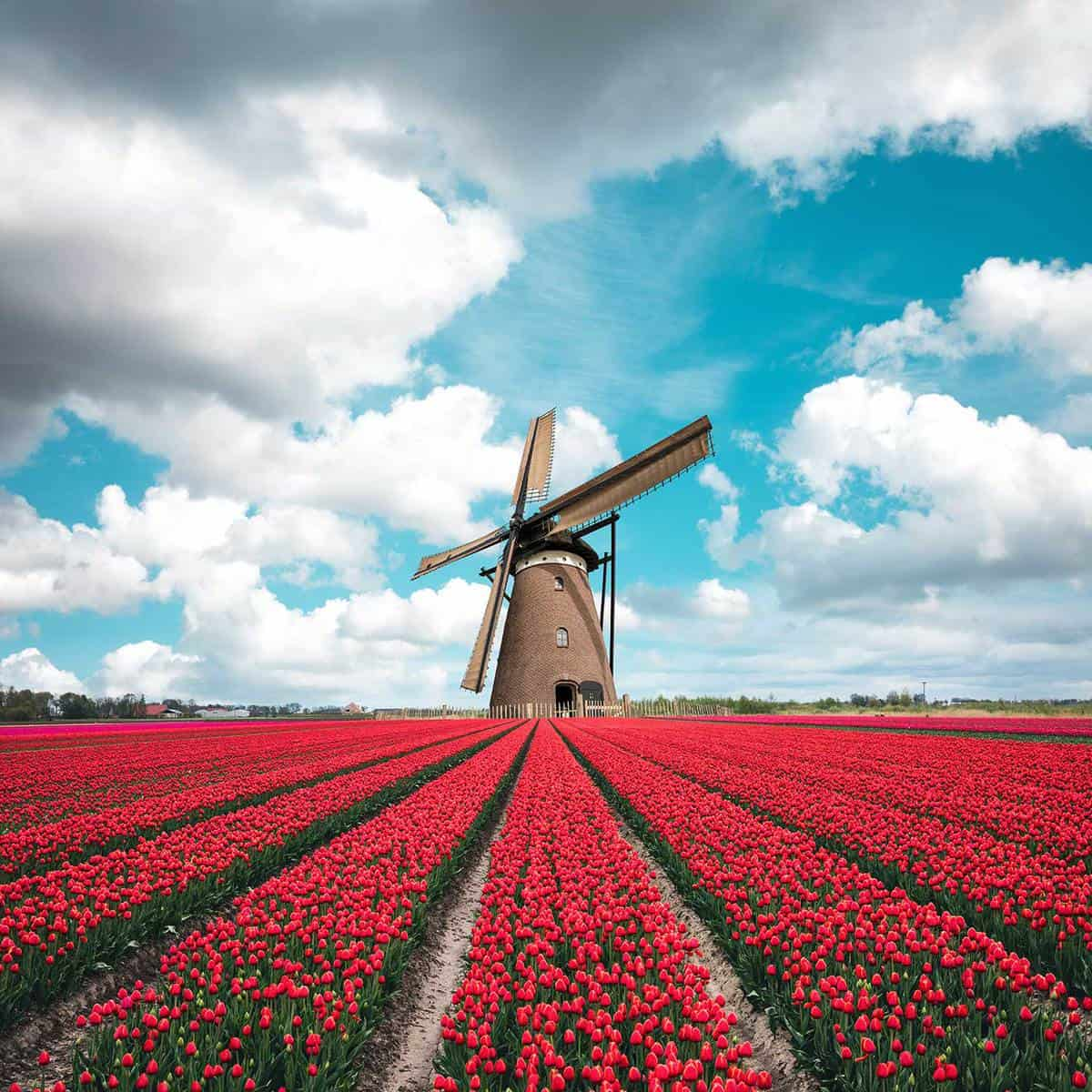 Colorful tulip field with traditional dutch windmill