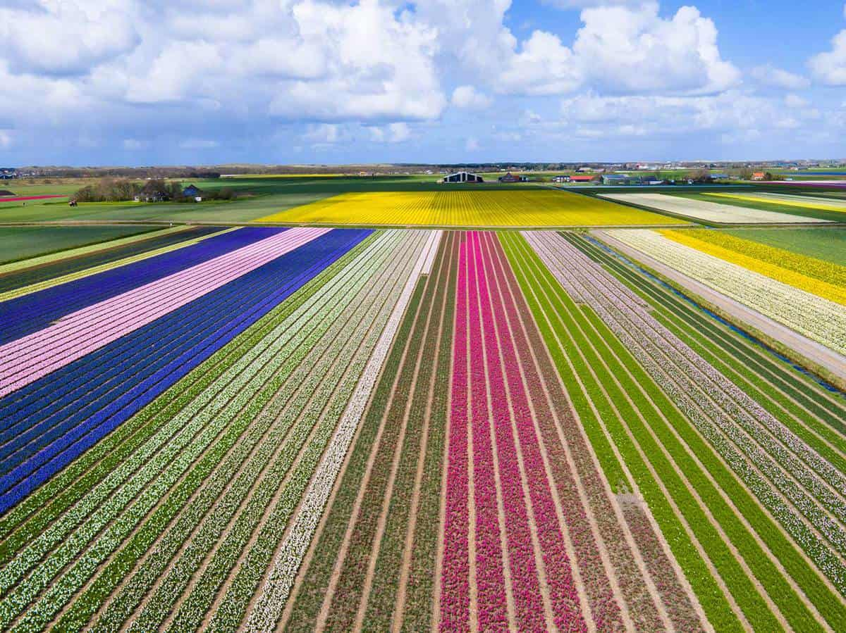 Colorful tulip fields in North Holland