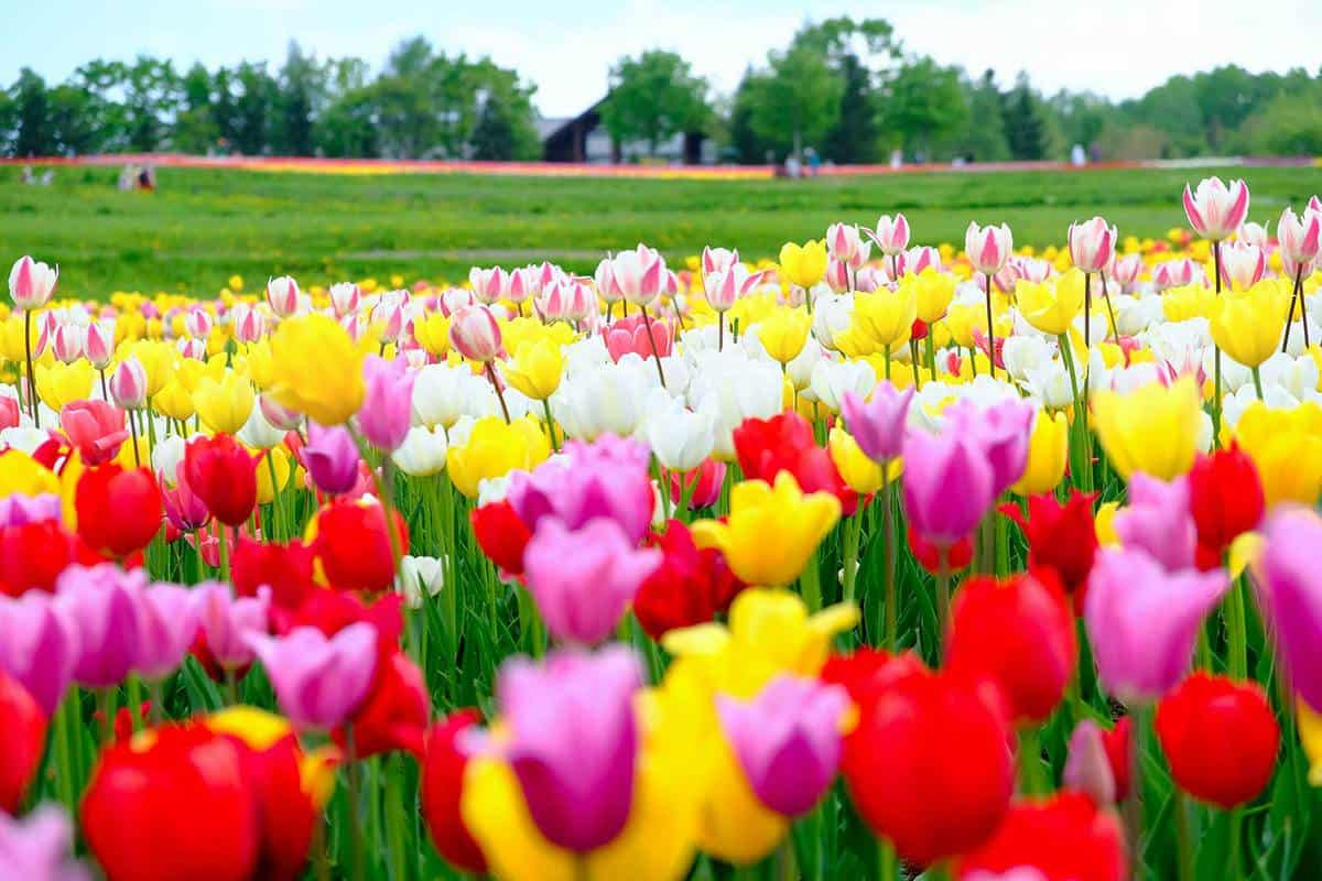 Colorful tulip flowers blooming in the spring garden in Japan