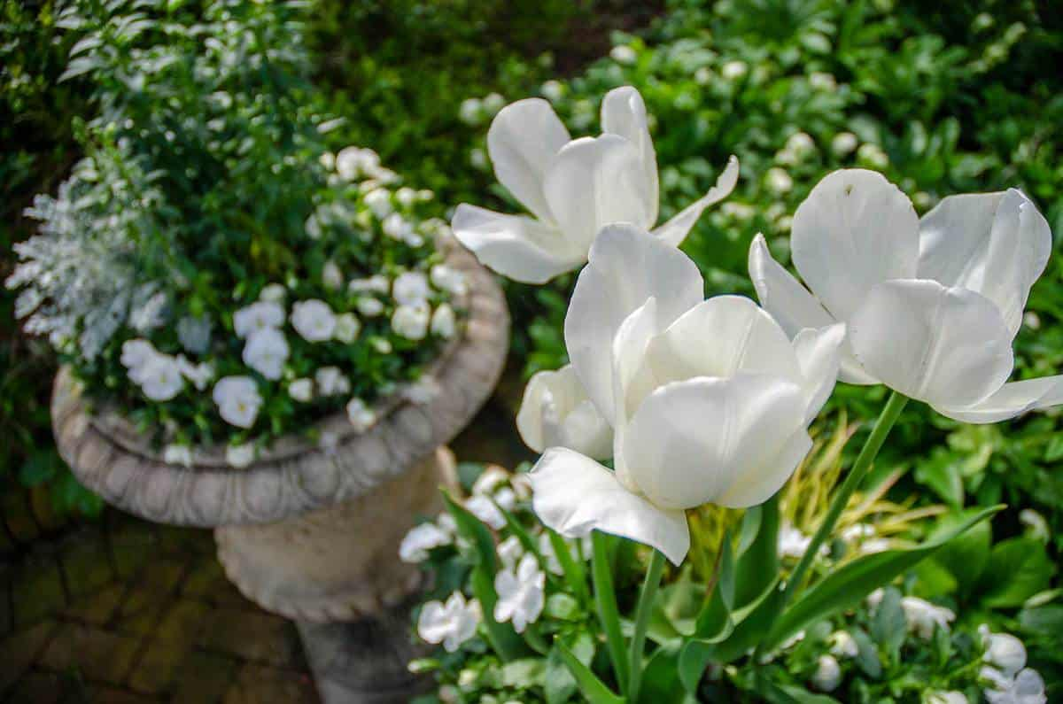 Container gardening with various white early spring flowers and blossoms