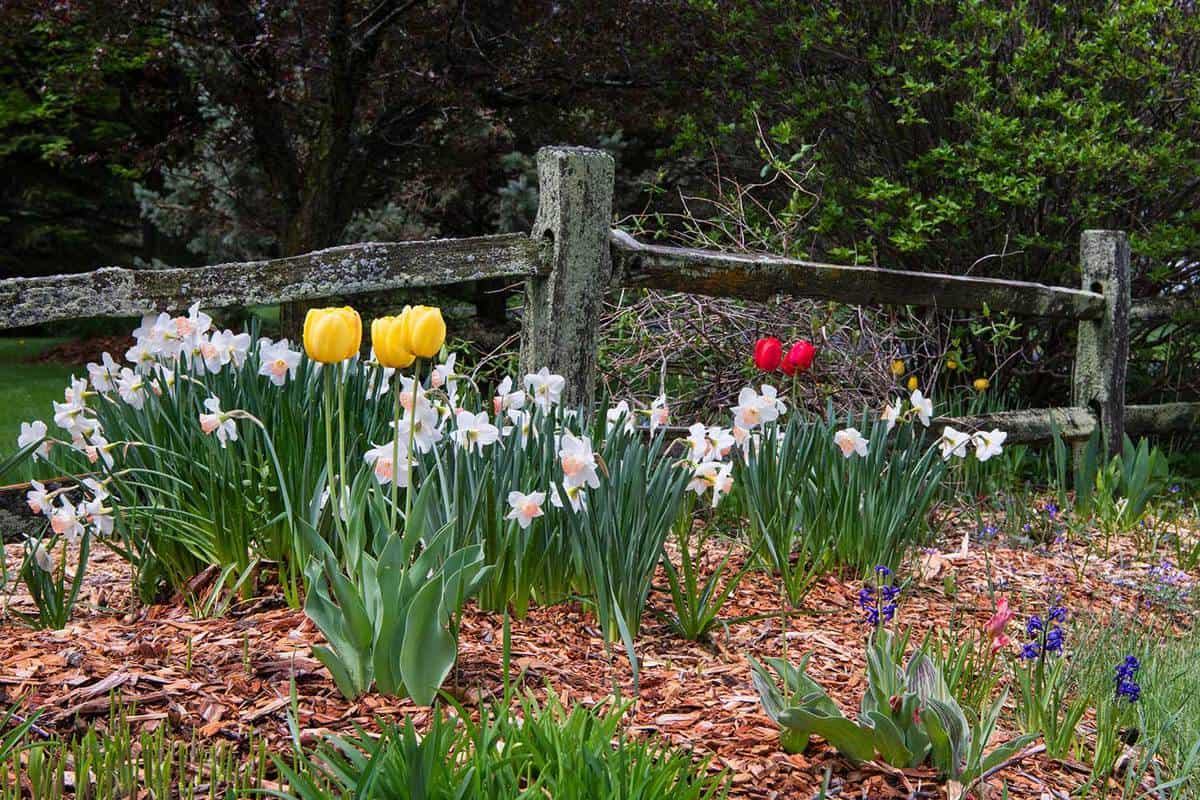 Daffodils and Tulips in front of wood rail fence
