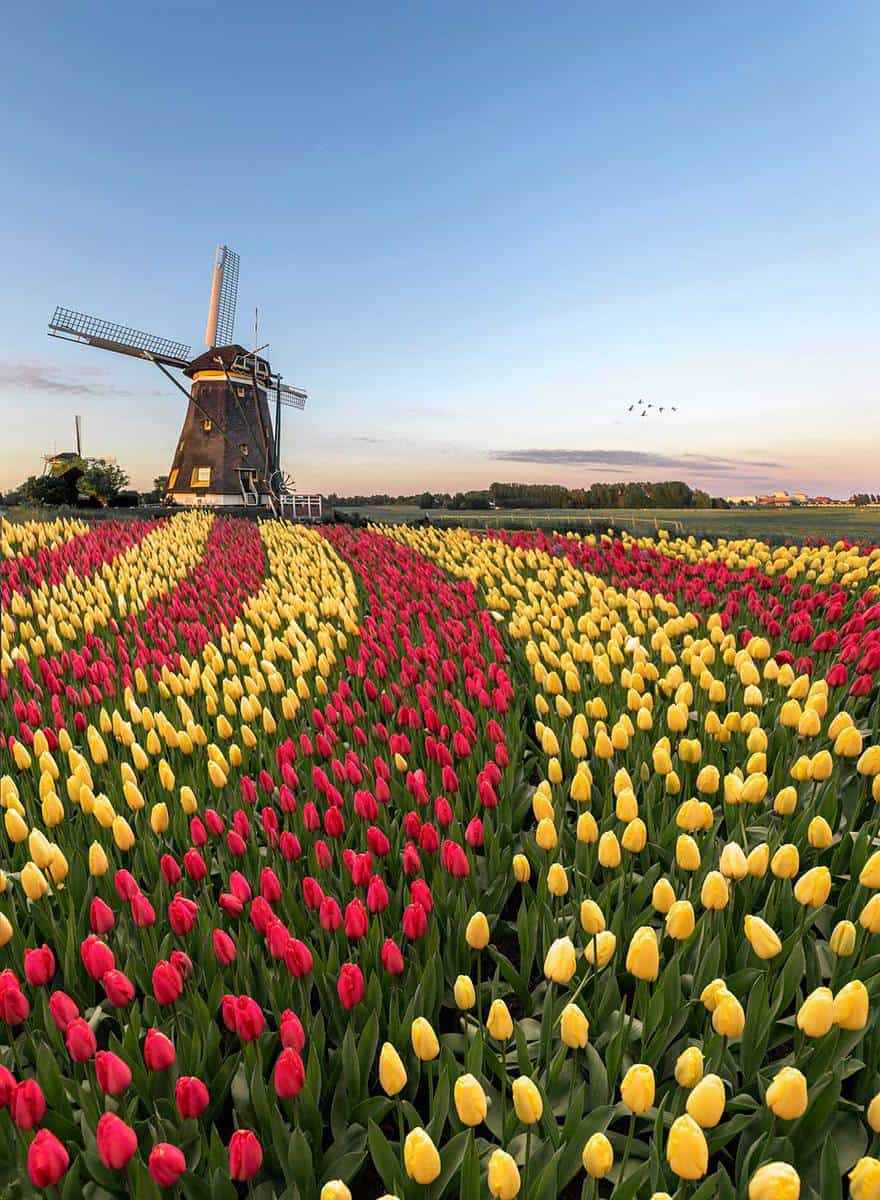 Duo color red and yellow tulips flowers blooming in curve shape