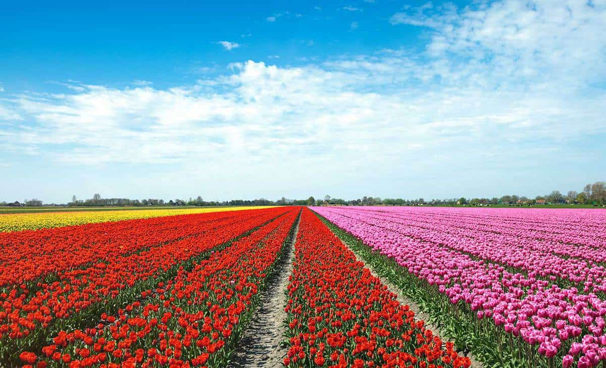 Dutch landscape with colorful field of tulips in spring