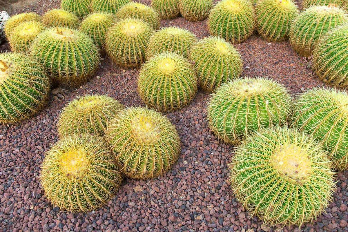 Echinocactus grusonii cacti