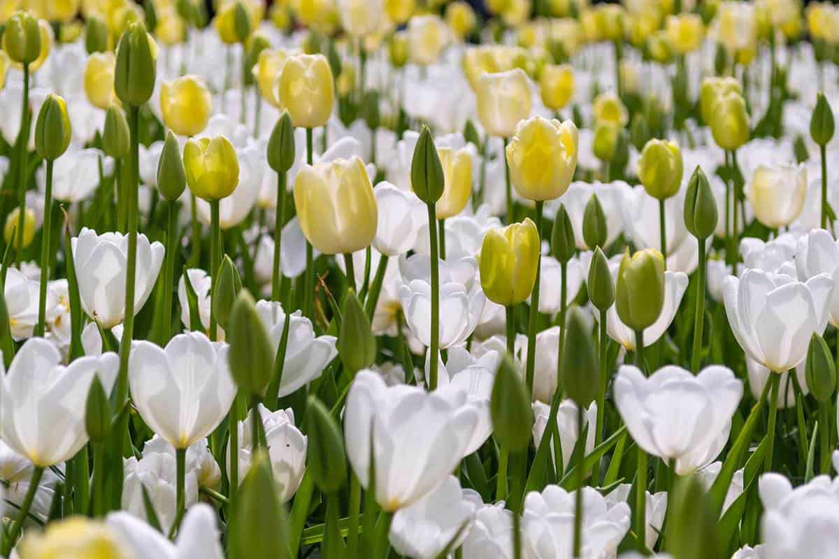 Flowerbed of yellow and white blooming tulips