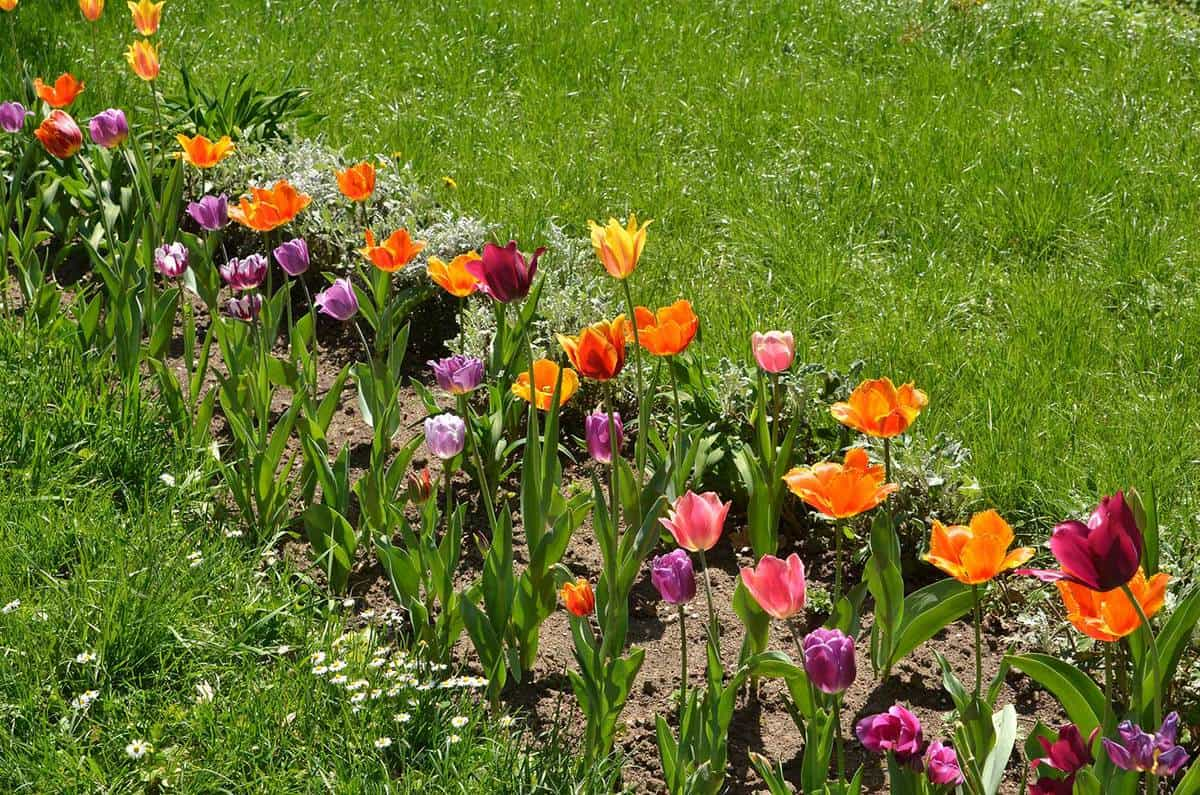 Flowerbed with tulips