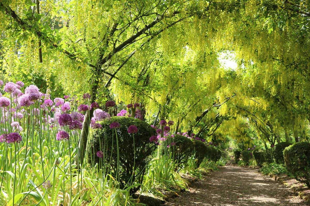 Garden in spring with yellow laburnum arch and puple alliums