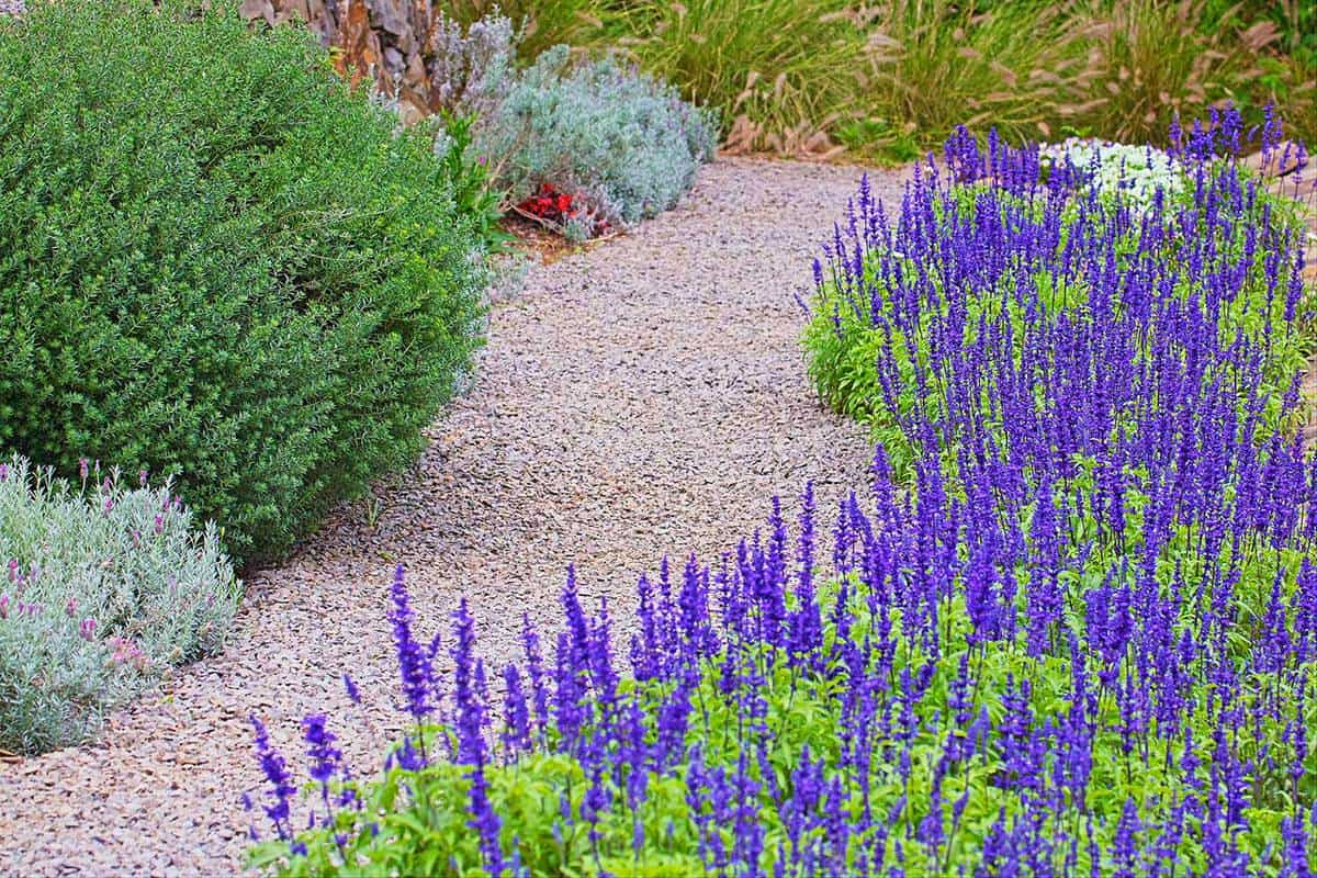Garden path and purple lavender field
