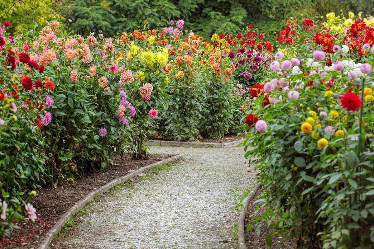 Garden with footpath through flowerbeds of dahlia