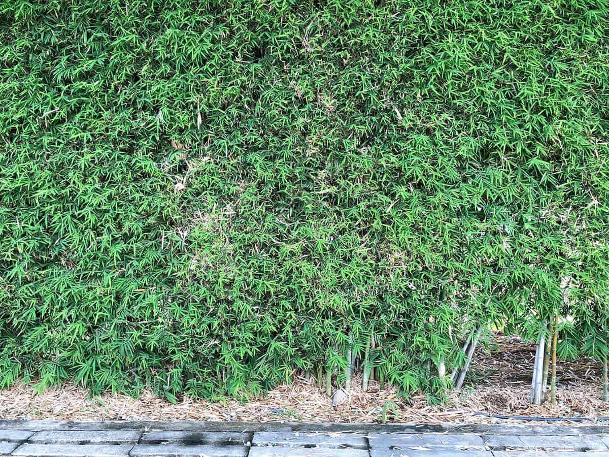 Green leaves bamboo wall