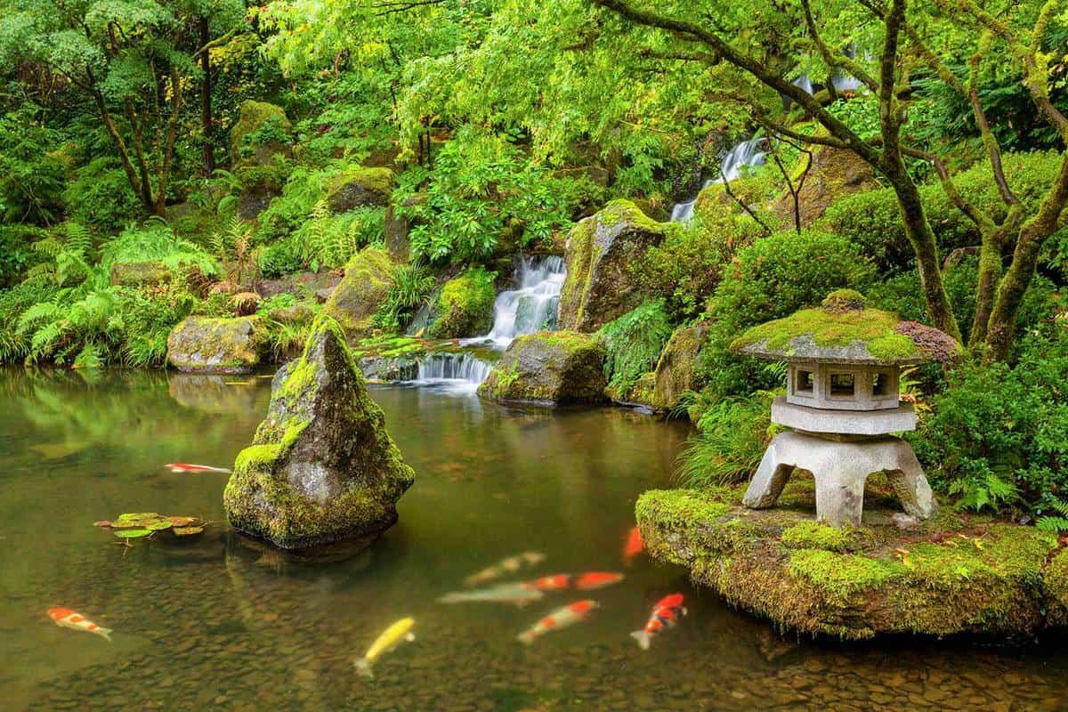 Japanese garden pond with koi fish carp