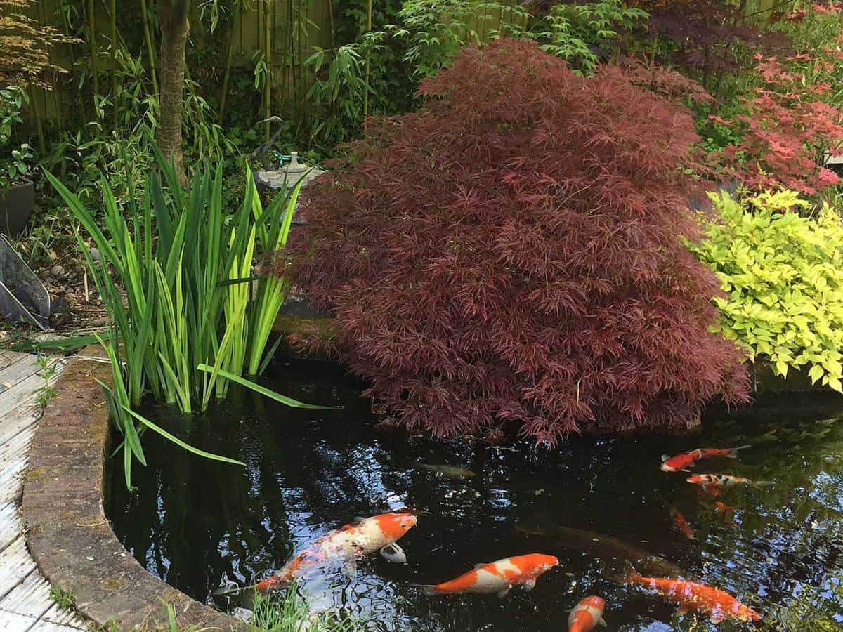 Koi pond with large koi carp fish swimming around in filtered water in a japanese garden