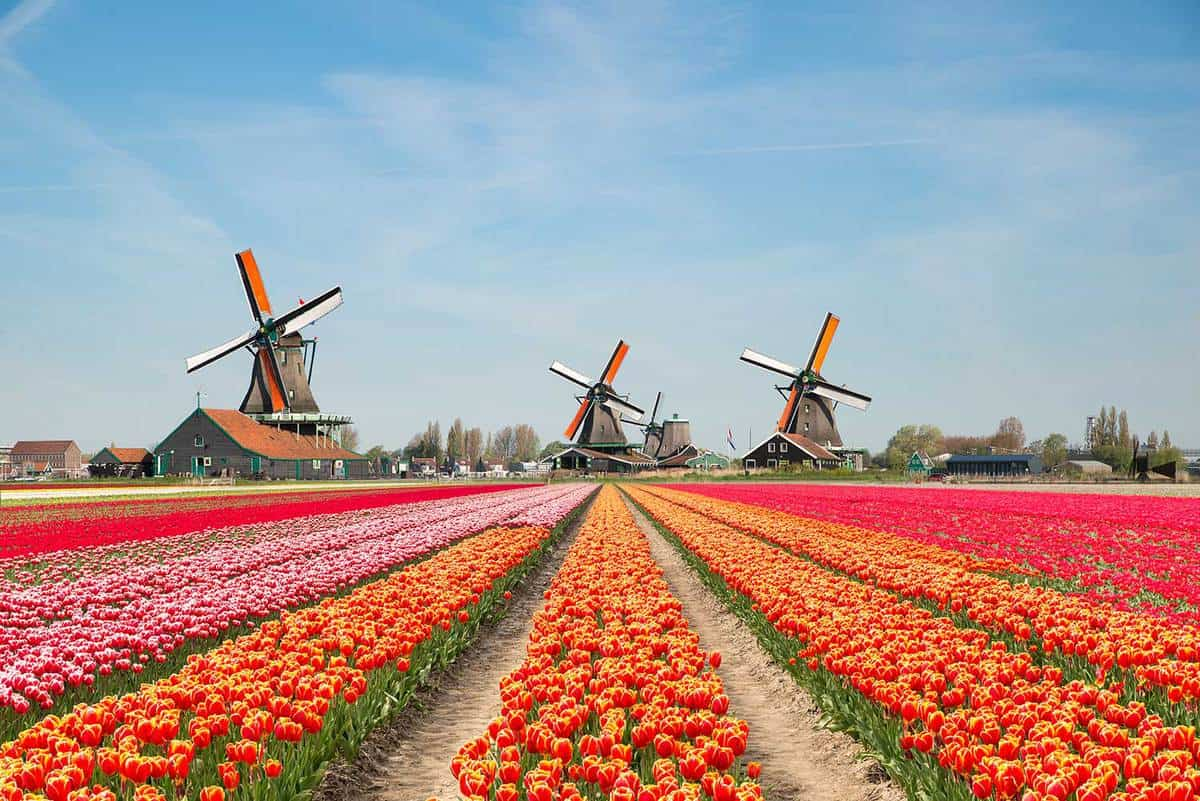 Landscape of bouquet of tulips and windmills