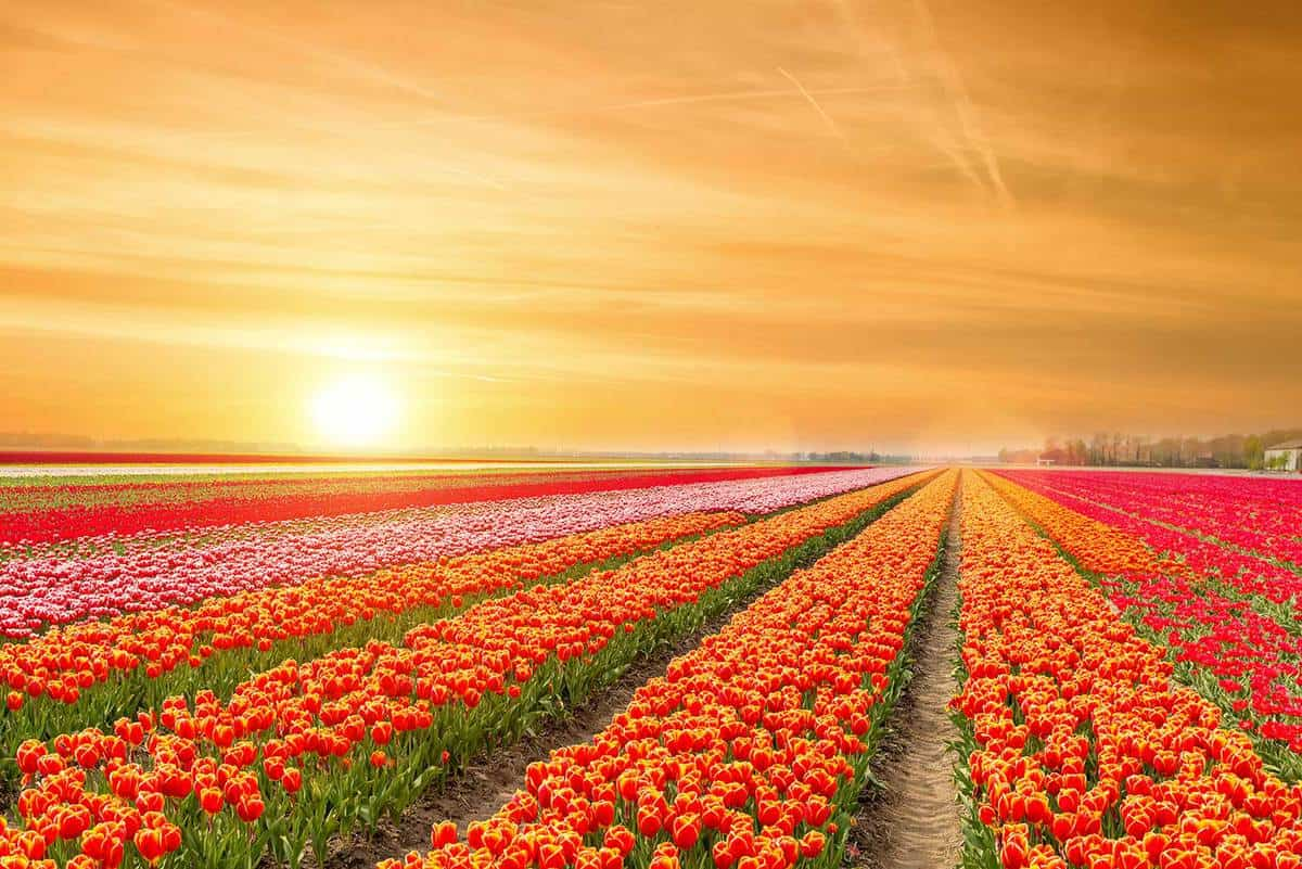 Landscape of tulips with sunlight