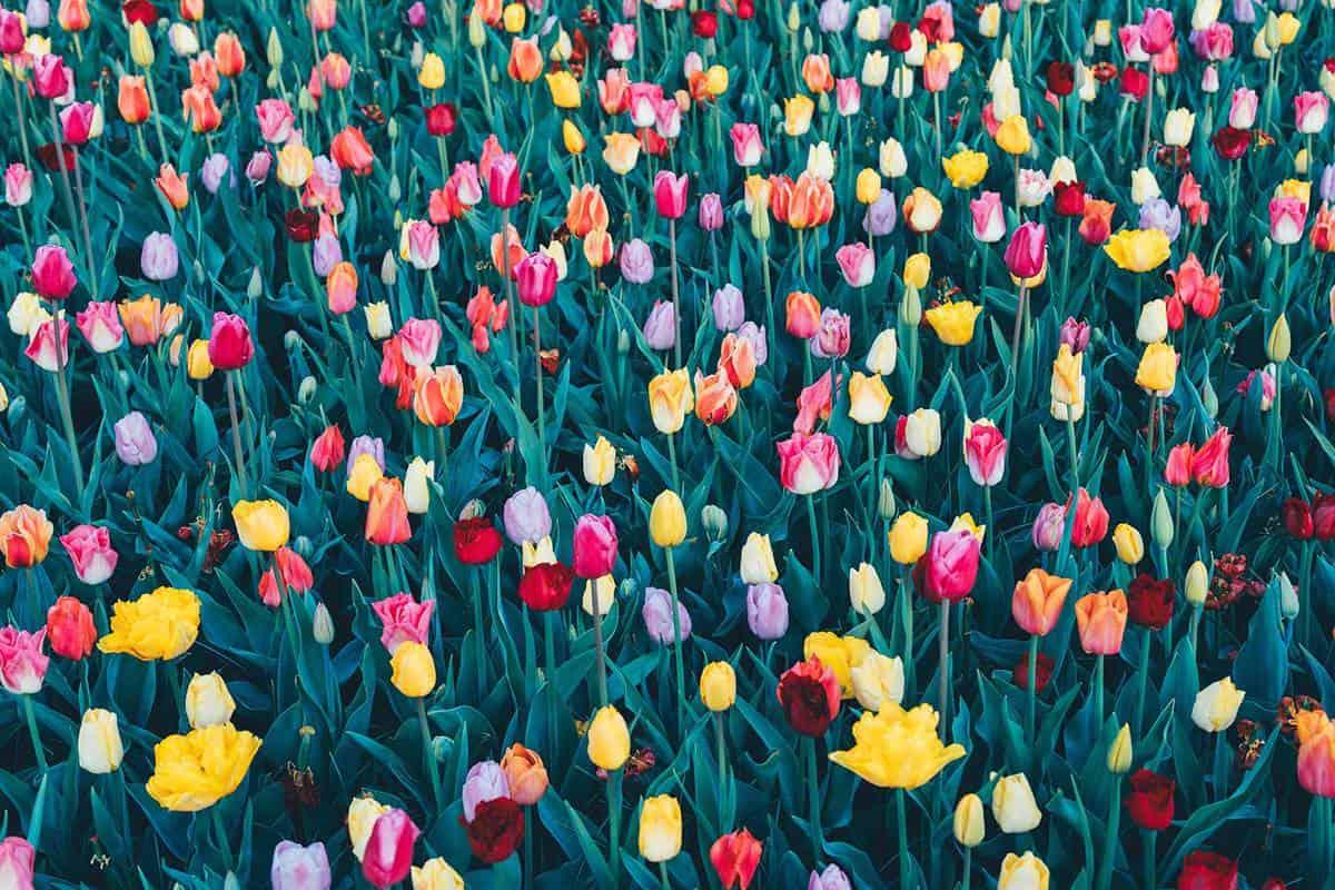 Multi colored tulip background