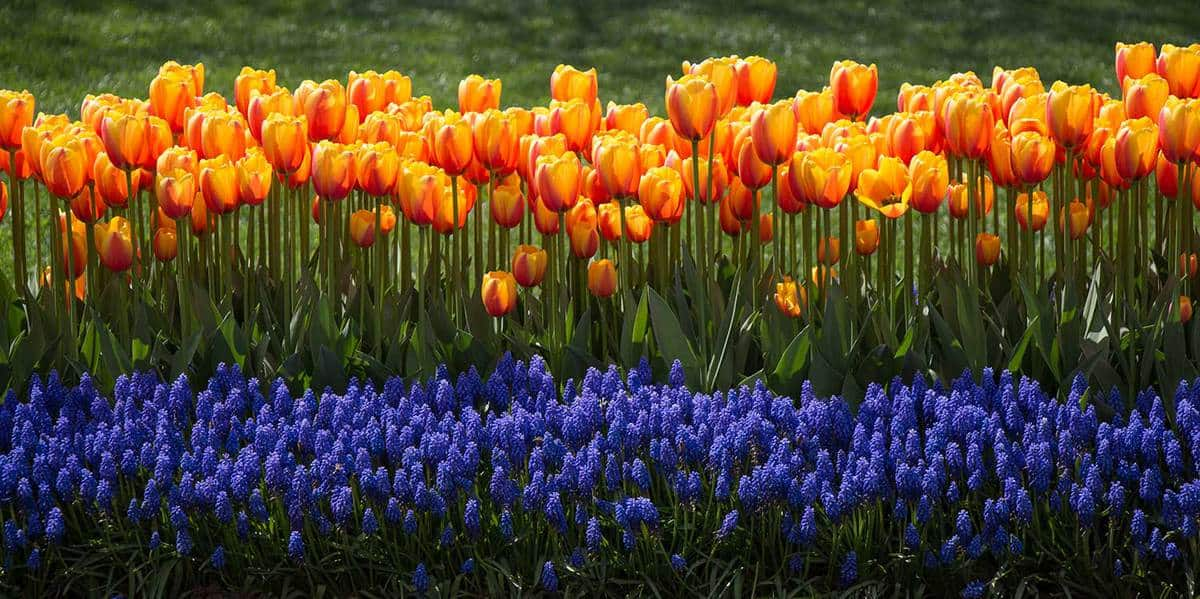 Orange color tulip flowers in the garden