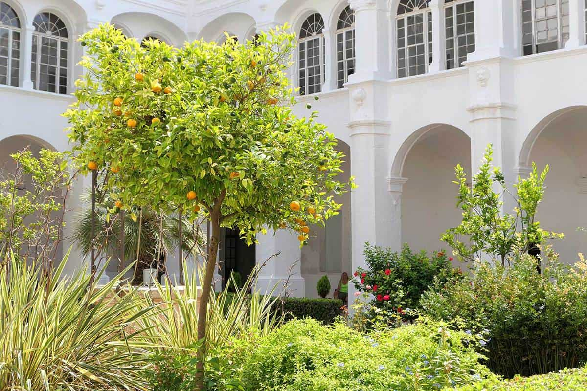 Orange tree in a garden