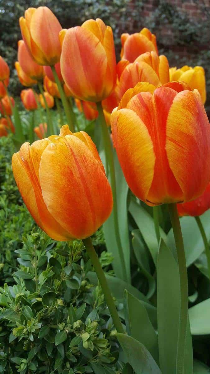 Orange tulip bulbs
