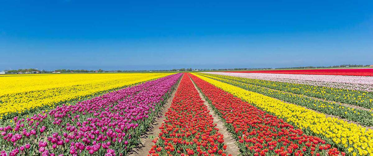 Panorama of a colorful tulips field