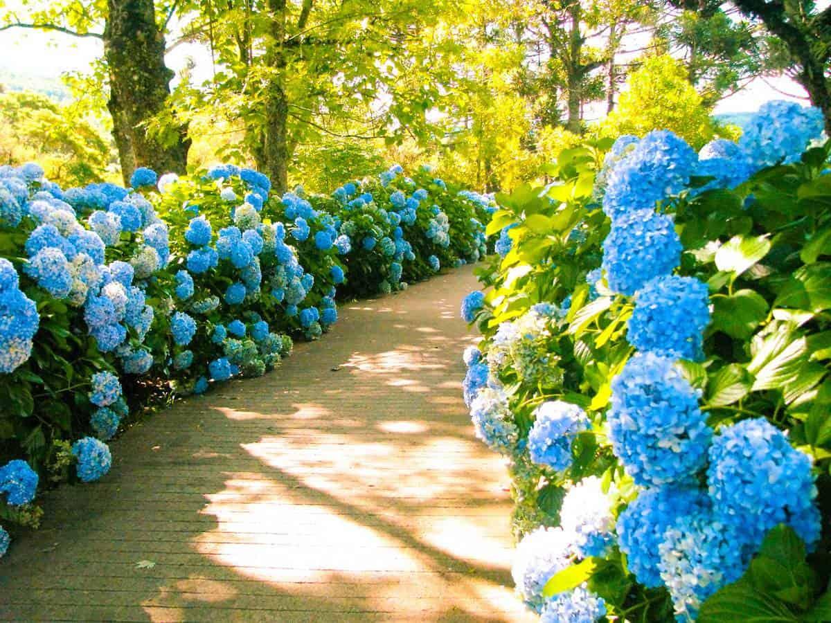 Pathway with hydrangeas