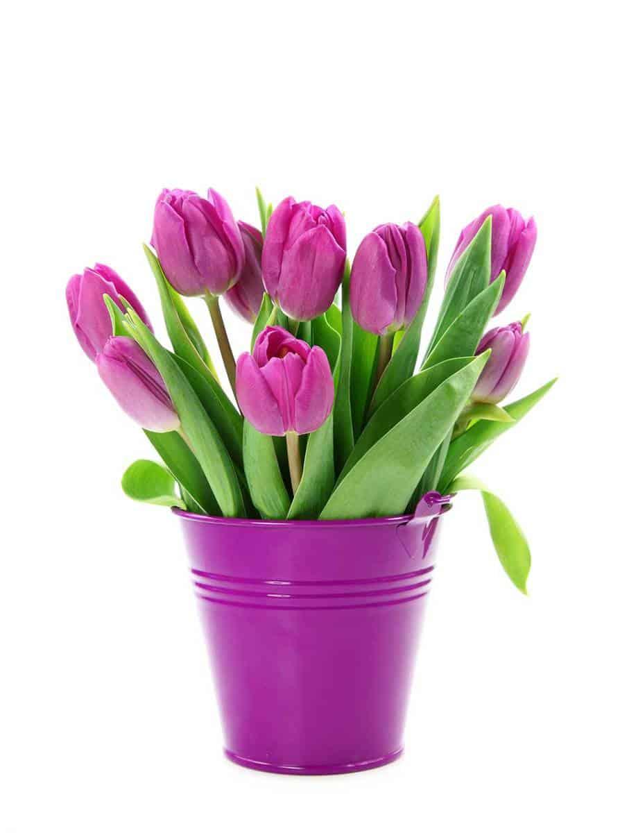 Purple-tulips-in-bucket