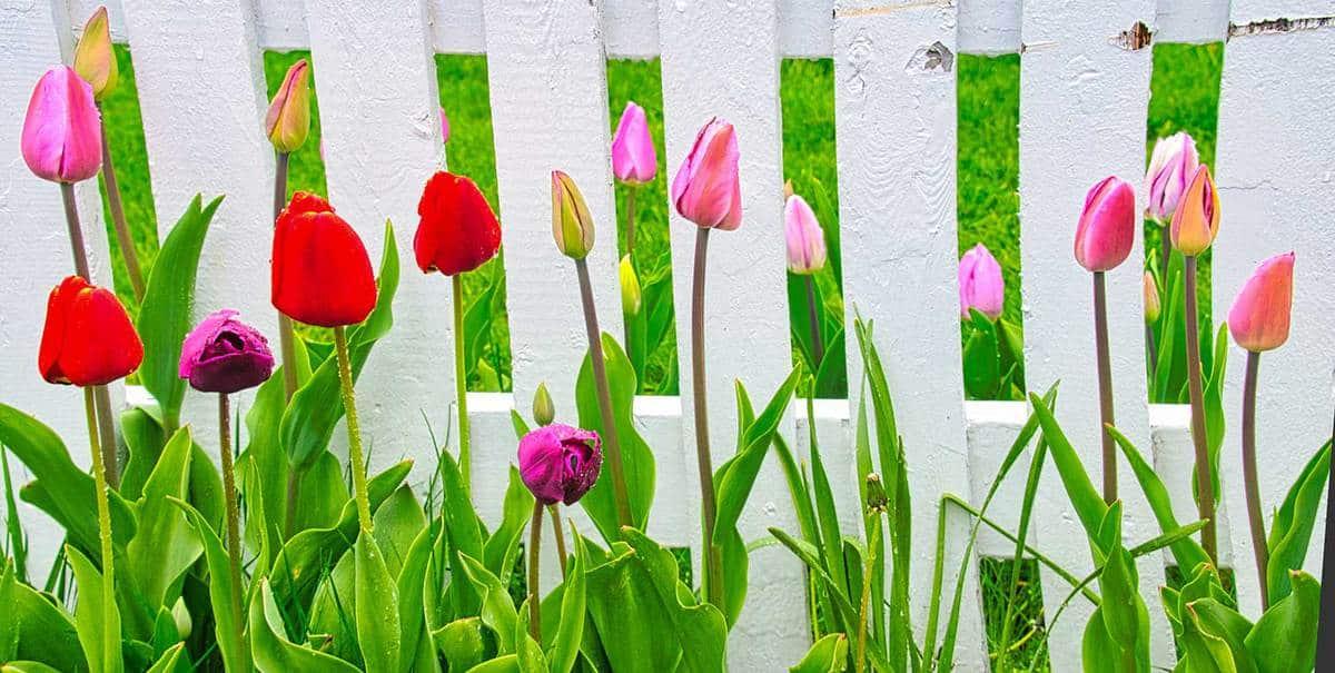 Raindrops on spring tulips