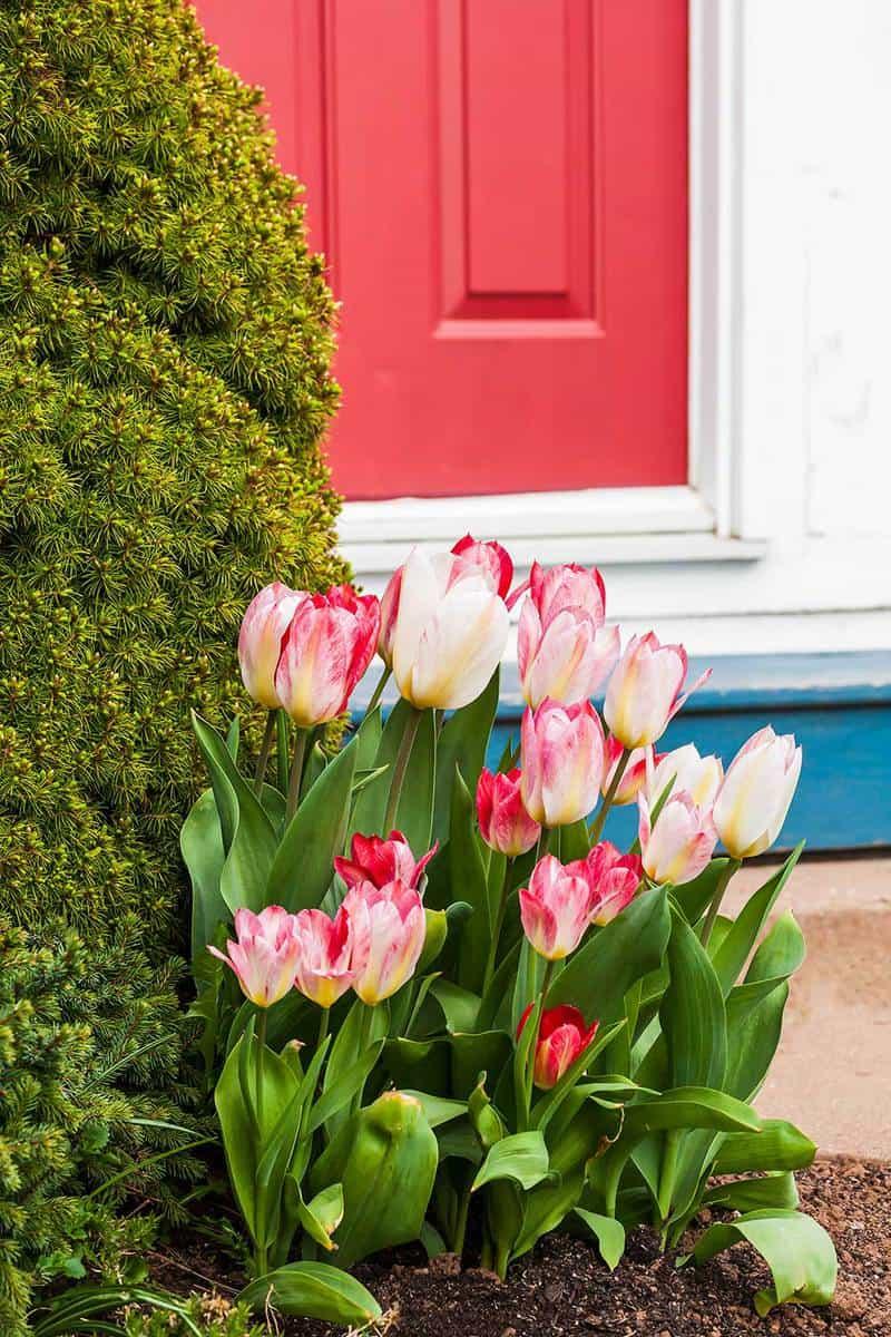 Red door behind tulips