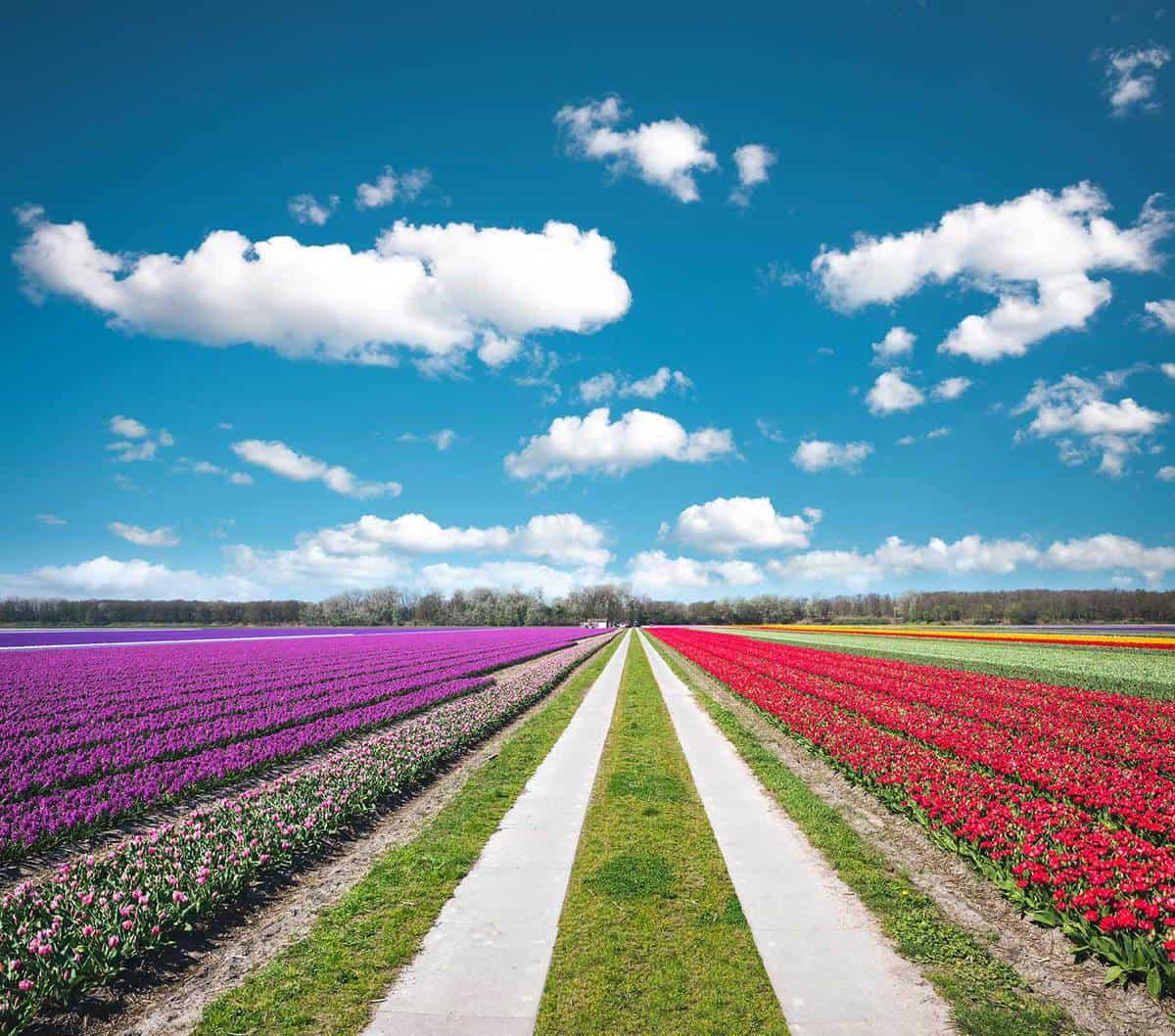 Road through colorful tulip field