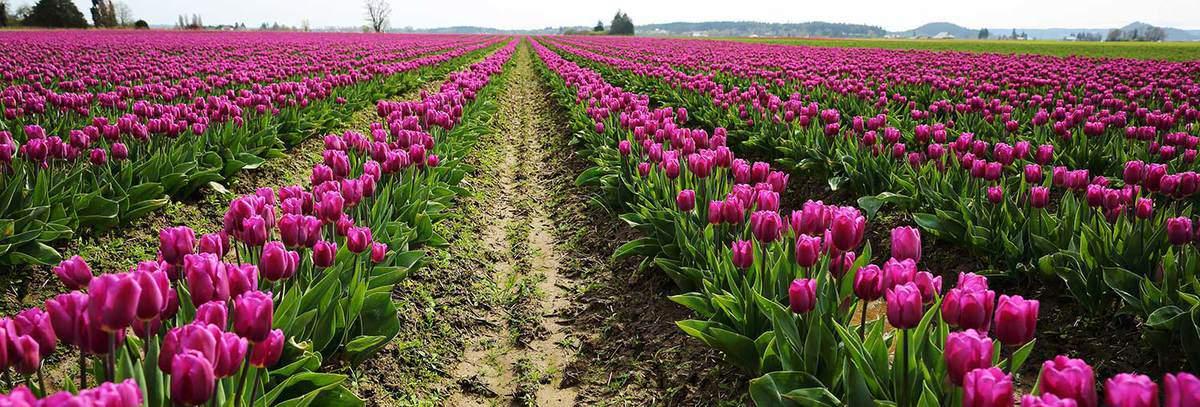 Rows of fuchsia tulips