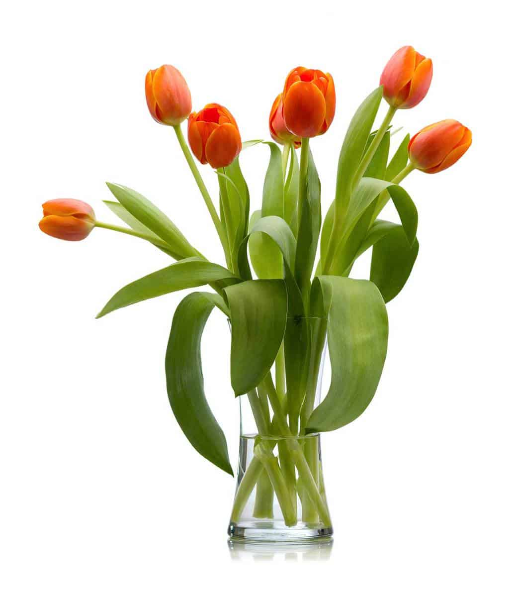 Seven-red-orange-fresh-cut-tulips-In-glass-vase