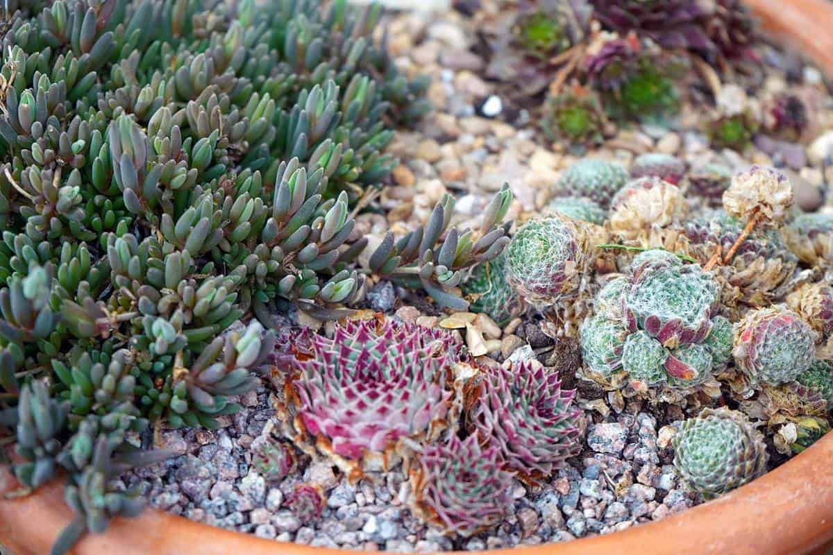 Small alpine plants growing in gravel