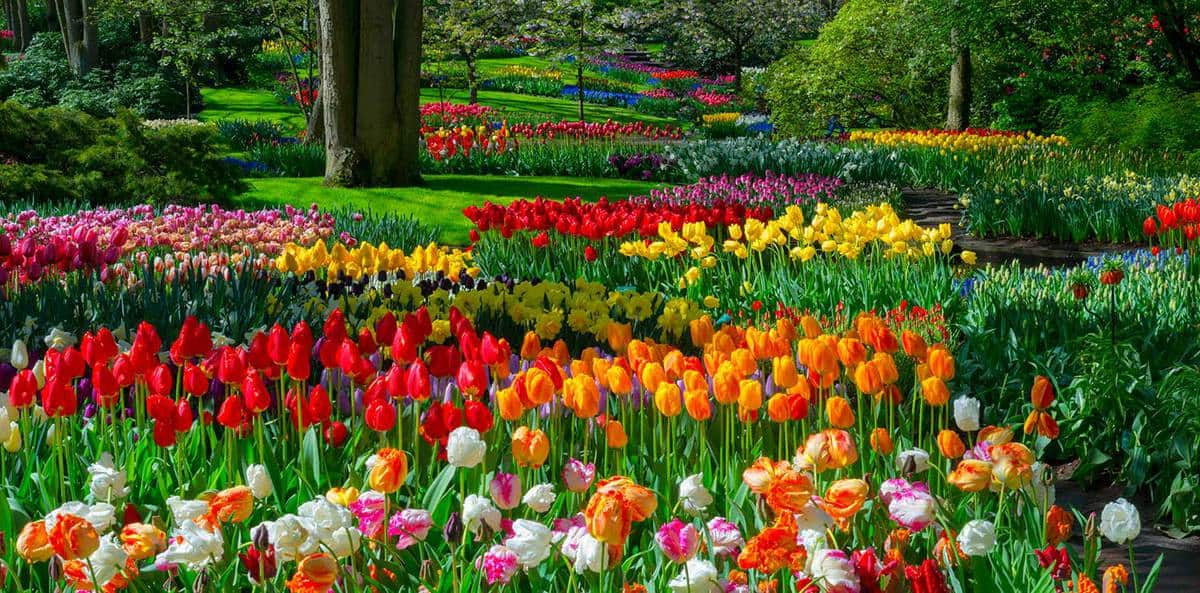 Spring tulip flowers in a park